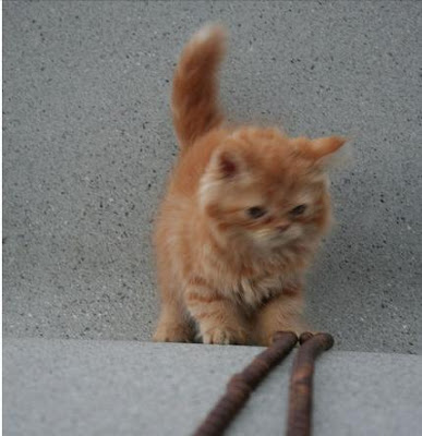 Foto kucing persia sedang bermain tali