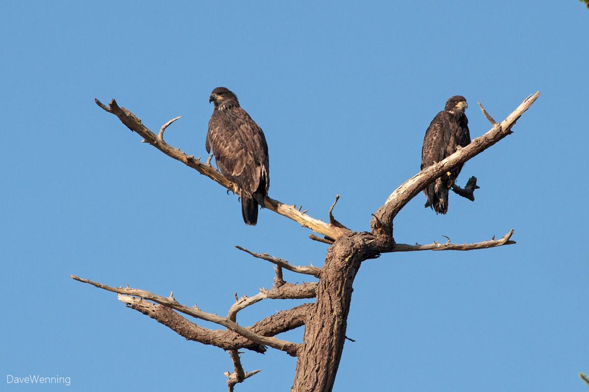Bald Eagle Juvies