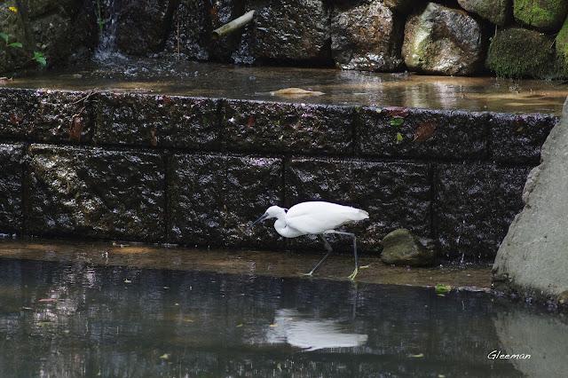 雞南山的小白鷺