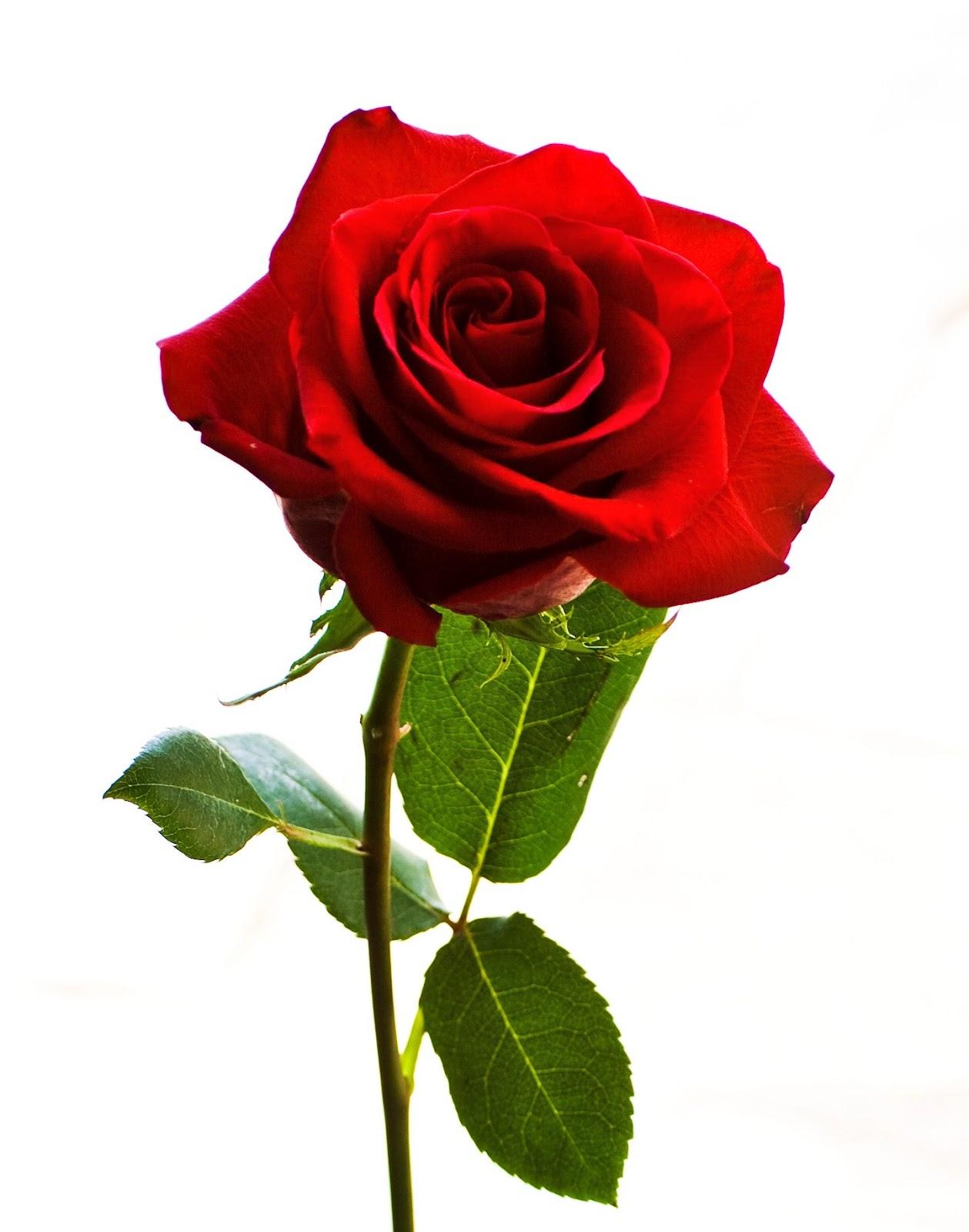 kisah bunga mawar di hati kita