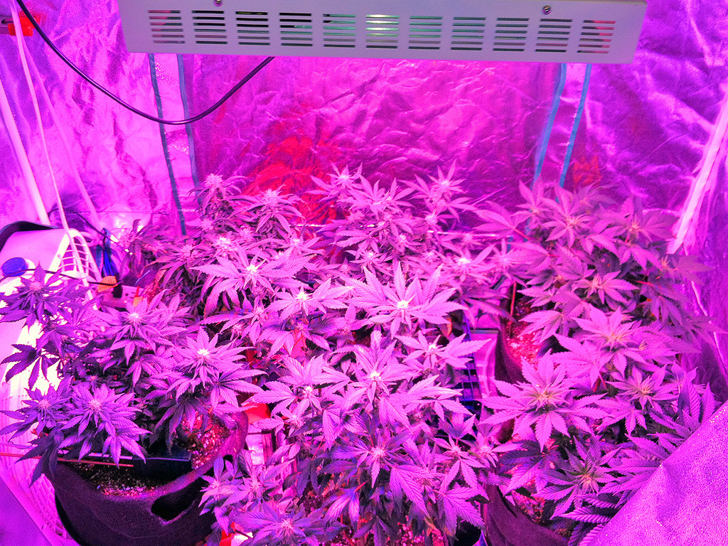 Plantar cannabis semillas de cannabis sistemas de for Leds para cultivo interior