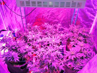 LEDs para cultivo de cannabis