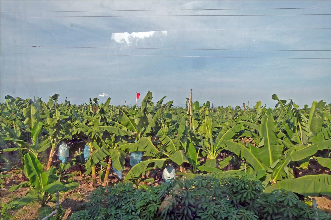 banana plantation at davao del norte Banana plantation in sto tomas, davao del norte about 30% of the plantation —owned mostly by small- and medium-sized farmers — were.