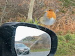 A hungry wee robin -