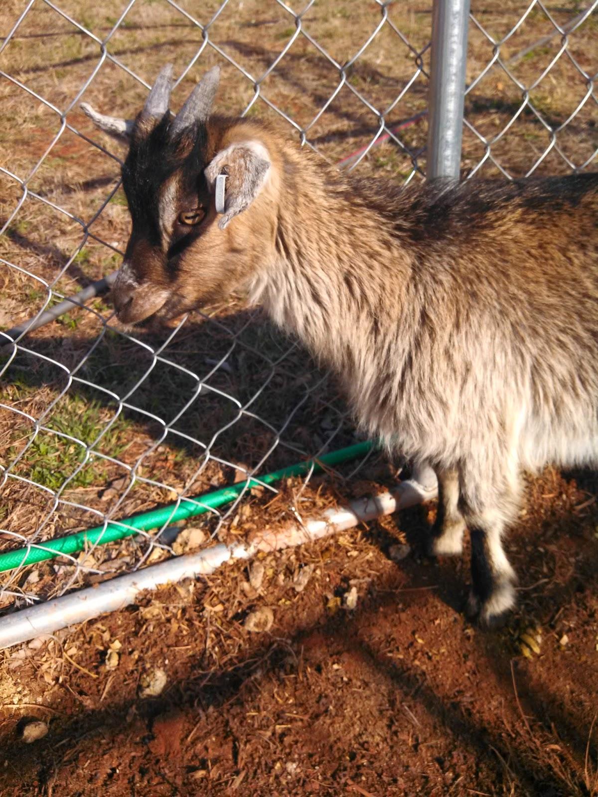 Cottage Making Mommy: We Got Goats