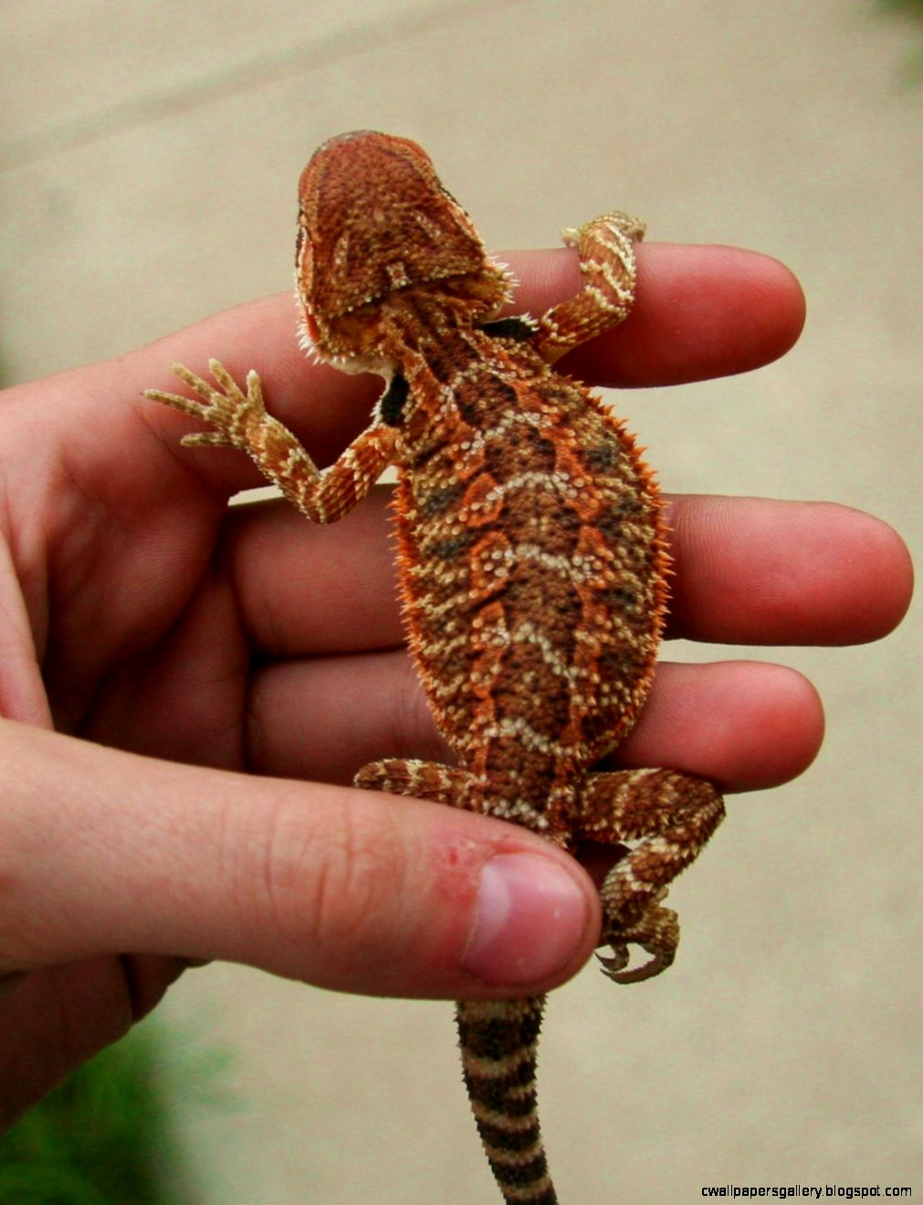 Red Baby Bearded Dragons FOR SALE ADOPTION from Minneapolis