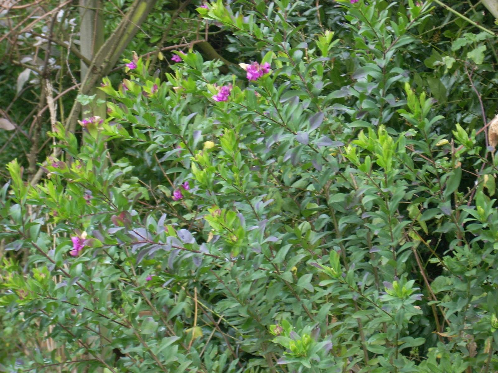 arbustes fleuris pratiquement toute l 39 ann e les jardins. Black Bedroom Furniture Sets. Home Design Ideas