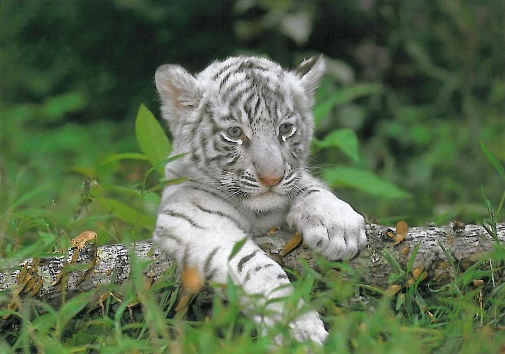baby siberian tiger cub Car Pictures Cute Siberian Tiger Cubs