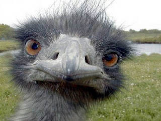 Emu world's ugliest animal