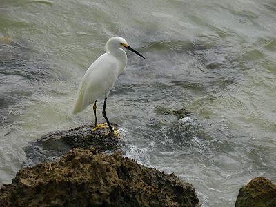Photo d'une aigrette sur l'île d'Anna Maria en Floride