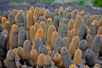 Cactus on Genovesa, Galapagos