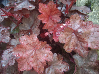 HEUCHERA FIRE CHIEF.