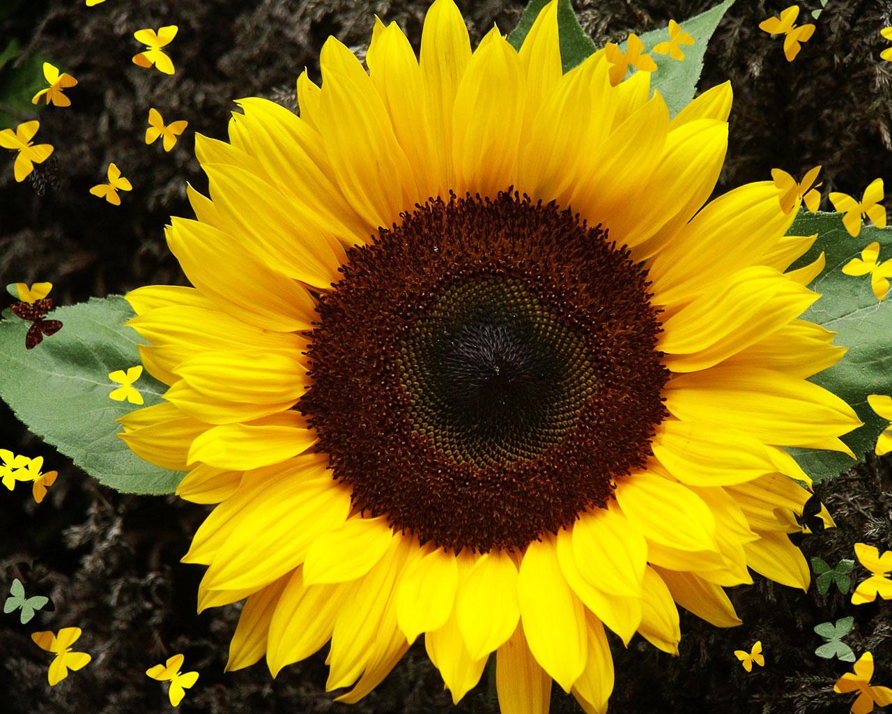http://3.bp.blogspot.com/-9apB_fNFcwI/T8Wsdde6cnI/AAAAAAAABEY/FeVtGP1Wrgo/s1600/sunflower-1.jpg