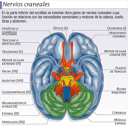 Nervios craneales for 12 paredes craneales