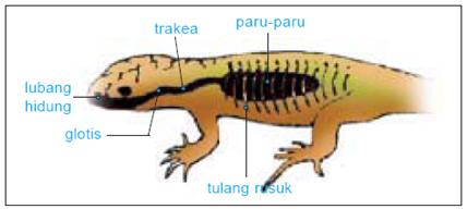 atha anak cerdas: Alat Pernapasan Reptil