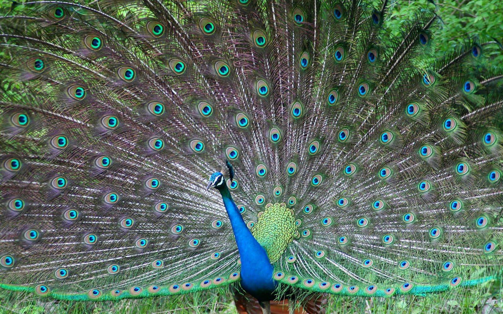 http://3.bp.blogspot.com/-9c75CEYo01k/Tlk0_IcjIxI/AAAAAAAADa4/9DUV3CZs918/s1600/Beautiful_bird_Desktop_wallpaper3.jpg