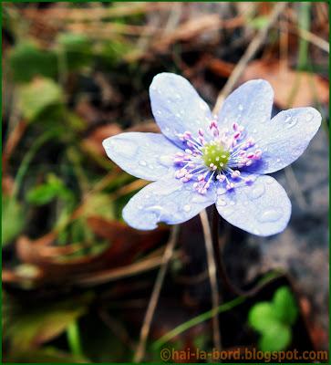floare albastra la crucea alba