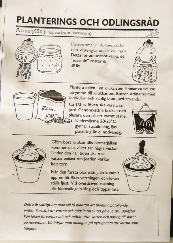 amaryllis, odlingsinstruktion