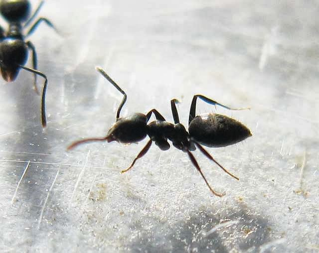 Workers of Technomyrmex sp. ants