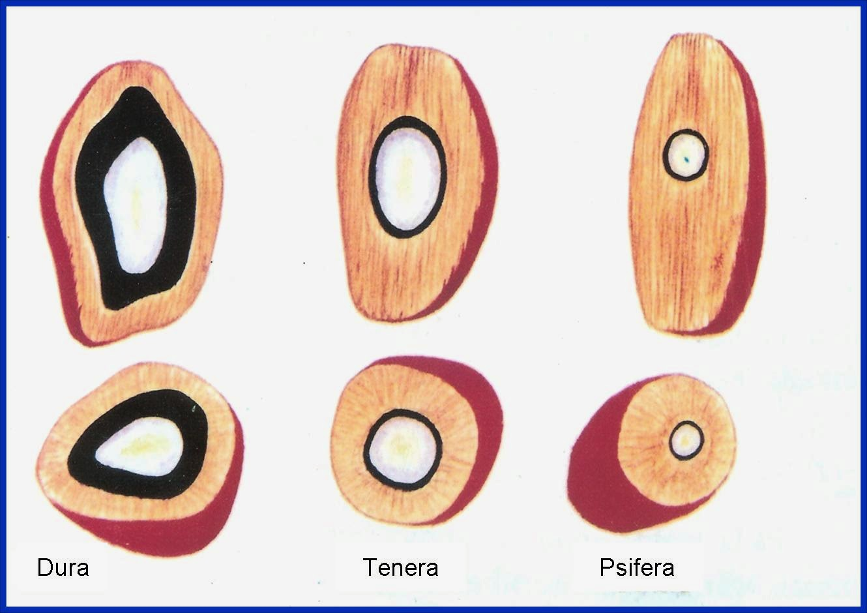biji buah kelapa sawit