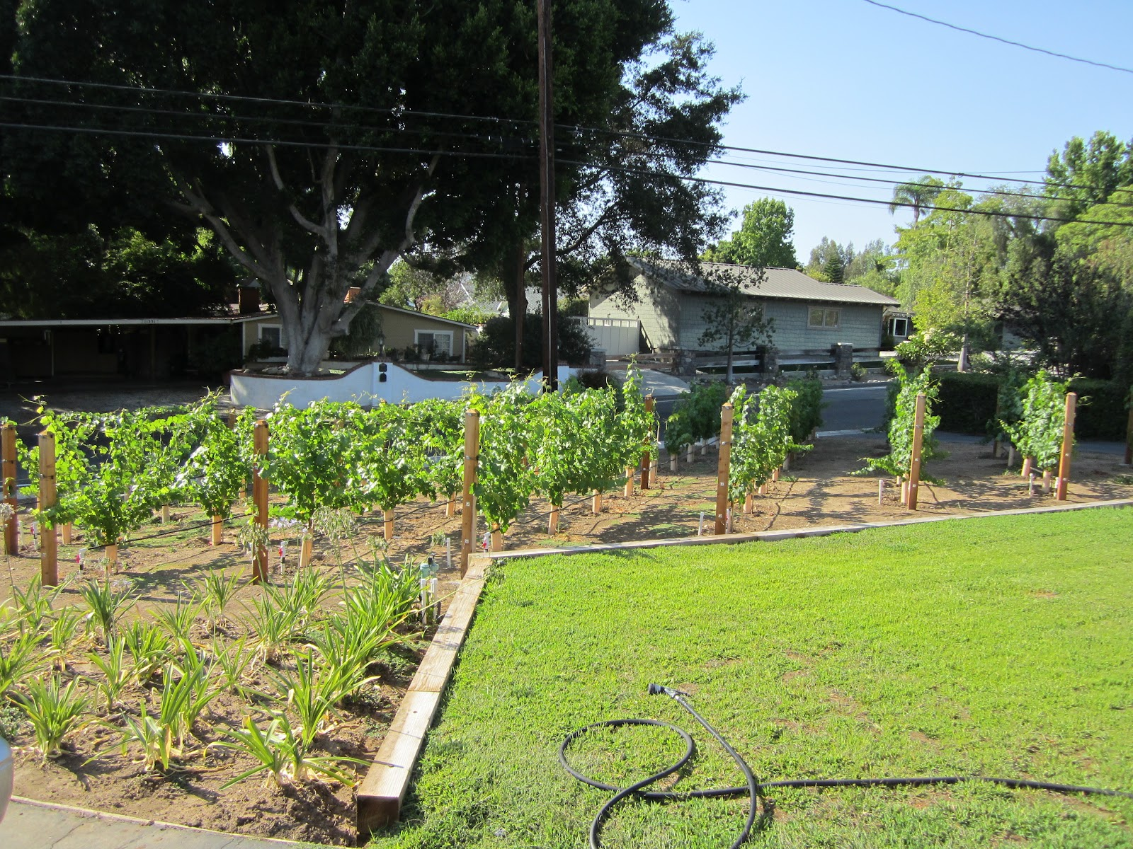 Small Backyard Vineyard looking like a vineyard | the frontyard vineyard