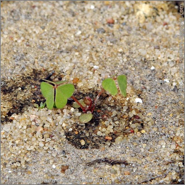 Oxalis europaea seedling - Szczawik żółty siewka