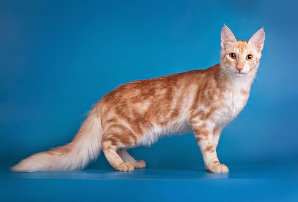 Open Minda Senarai Baka Kucing Berbulu Paling Lebat Dan