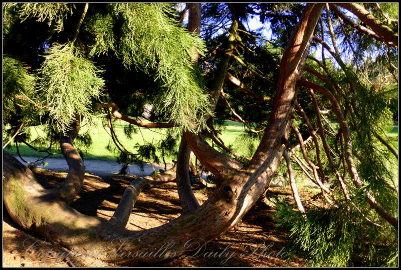 Giant sequoia Petit Trianon Versailles