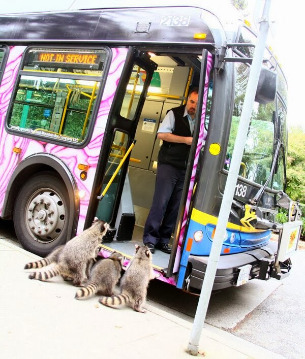 Funny animals of the week - 20 December 2013 (40 pics), raccoons want to take a bus