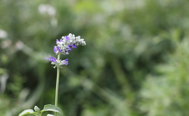Mealycup Sage Flowers