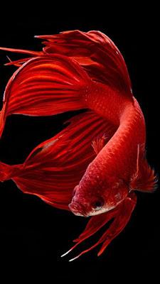 Fish iphone 6s Wallpaper