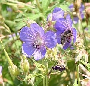 Wiesen-Storchenschnalbel Geranium pratense
