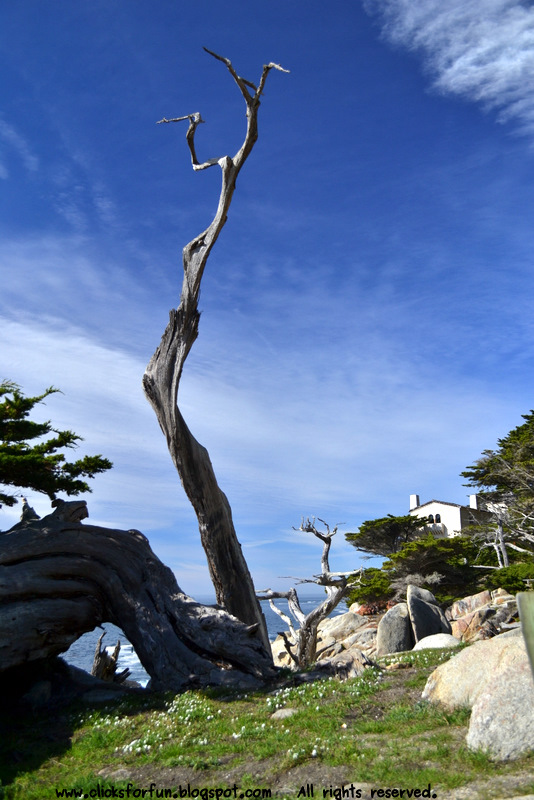 california coastline pacific ocean 17 mile drive monterey bay pebble beach ghost tree pescaderos point cypress tree bleached white trunk photography photos blogger