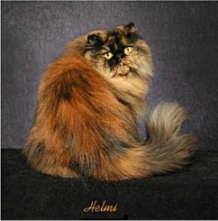 gambar kucing reverse tortoiseshell
