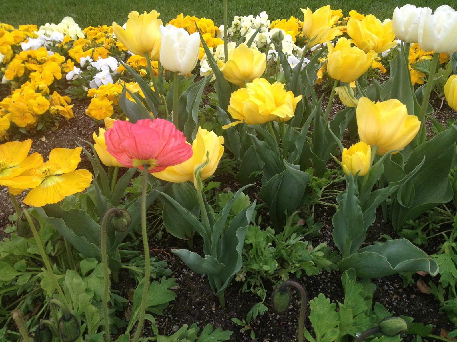 image of yellow tulips