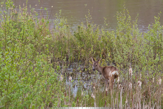 Ree op de plaats van bestemming, waar het verse voedsel groeit... - Roe Deer on location, where the good food is...