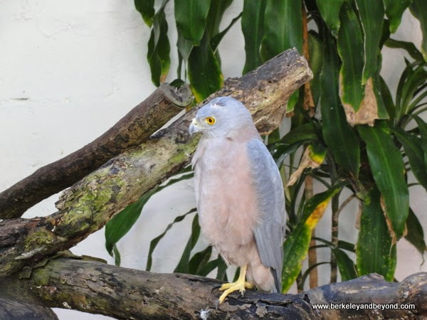Fiji sparrow hawk at Kula Eco Park in Fiji