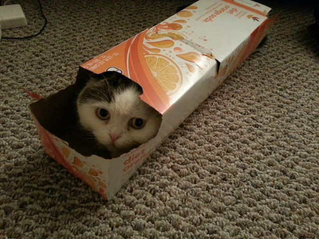 funny cats pictures, cat in box
