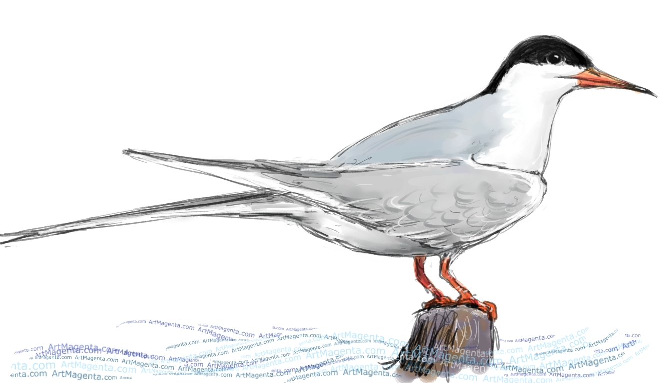 Common Tern sketch painting. Bird art drawing by illustrator Artmagenta
