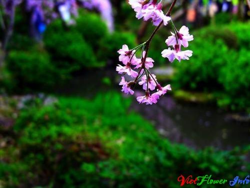 Ý nghĩa hoa anh đào - Sakura