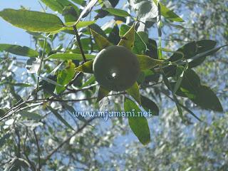 ciri-ciri buah rambai
