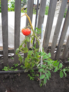 Пострадавший помидор тоже не сдается, начало июля