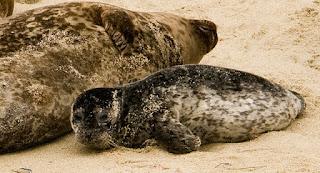 bebé en la playa foca