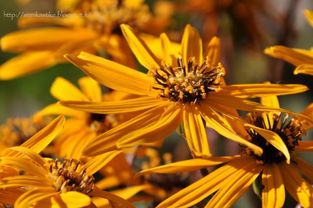 осенние цветы, жёлтые цветы, конец лета, начало осени, сентябрь, бабье лето