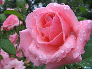 Flor preferida. (linda rosa flor belissima wallpaper)