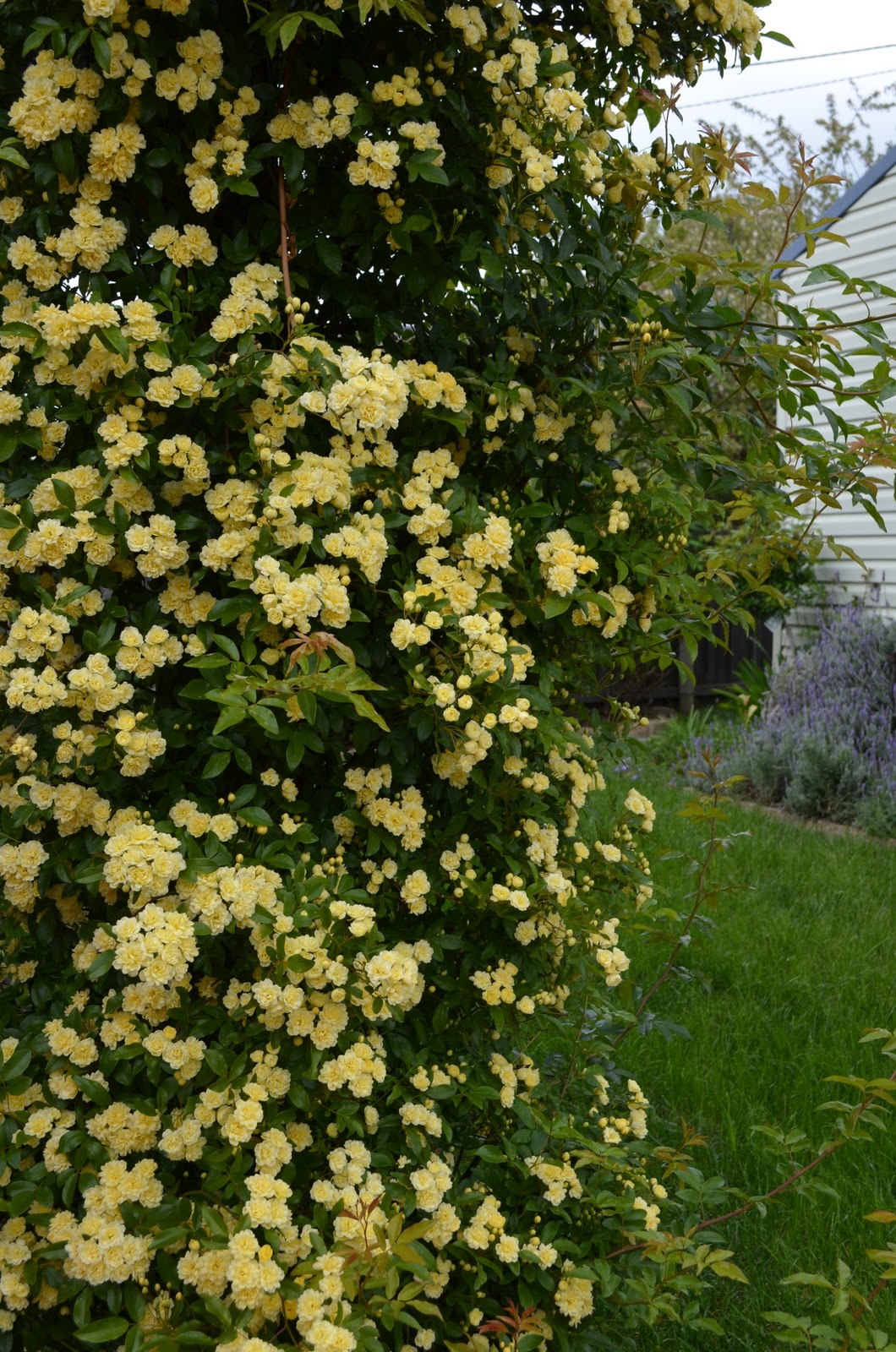 Yellow Rose Bushes Types This climbing yellow bush isYellow Rose Bushes Types