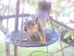 Roscoe the Squirrel