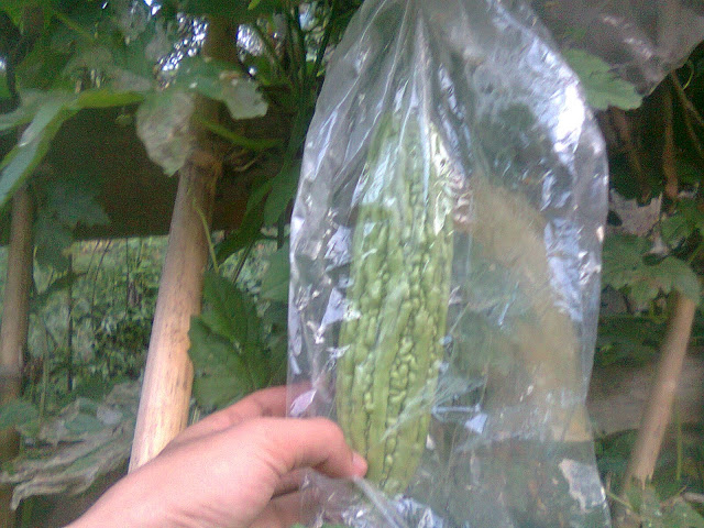 Buah Pare Pahit Dibrongsong Menggunakan Kantong Plastik