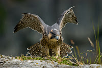 Young peregrine falcon at Malham Cove