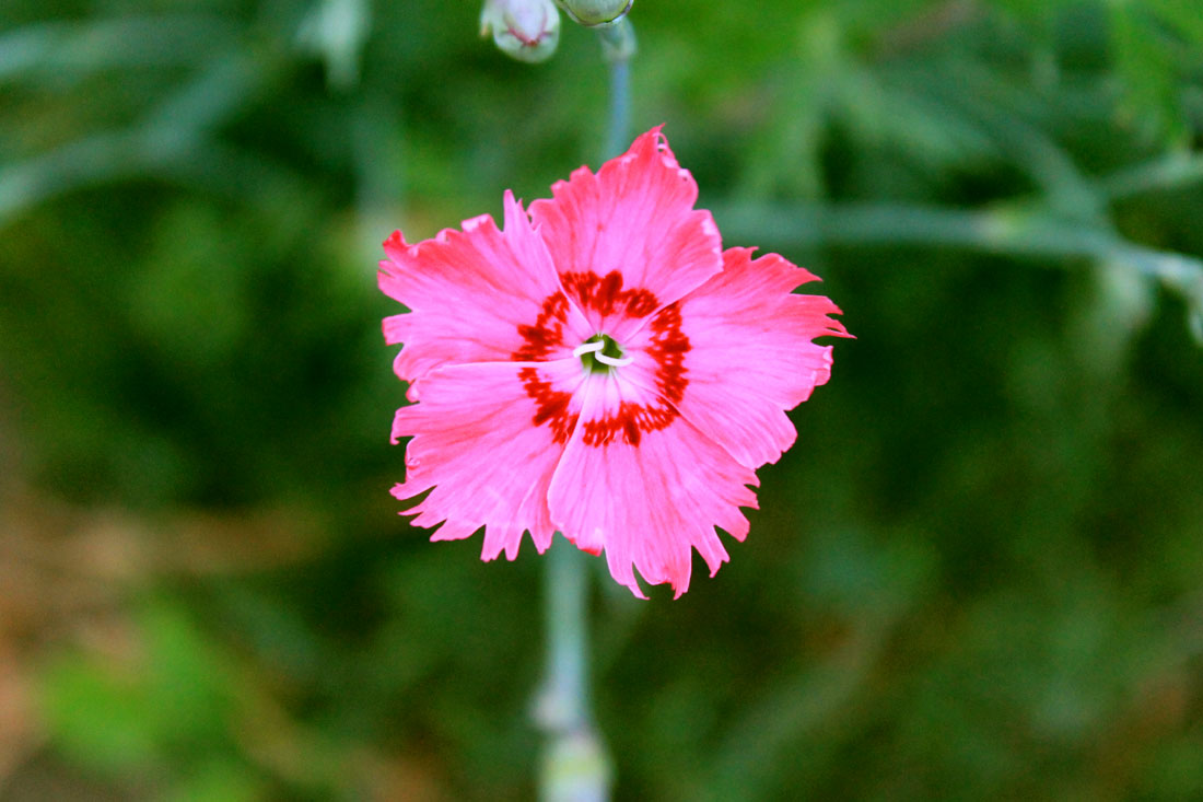 Dianthus in fiore, 26 luglio 2015
